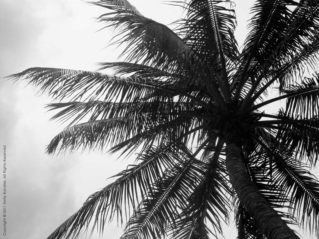 High Up: Coconut Palm