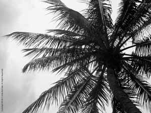 """High Up: Coconut Palm""